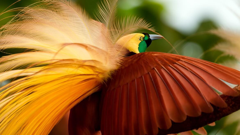 710+ Gambar Burung Cendrawasih Botak Terbaik